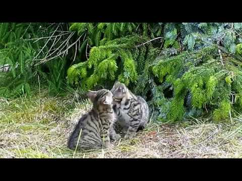 Scottish wildcat kittens playing, orphan wild cats rescued by Wildcat Haven Scotland