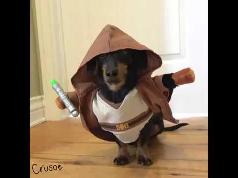 Crusoe Jedi Dachshund Uses Force to Retrieve Cookie Jar!
