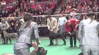 135th Westminster Dog Show - Cane Corso Breed Judging 2