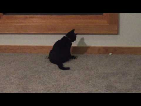 Boo the Bombay kitten amuses himself (2)