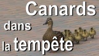 CANARDS DANS LA TEMPÊTE - PAROLE DE CANARD