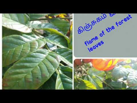 LEAVES NAMES TAMIL AND ENGLISH WITH IMAGES - 4 (151-200)