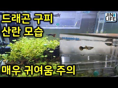 [물생활]드래곤 구피 산란 모습. 치어 매우 귀여움 주의!!