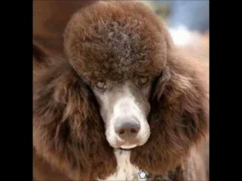 Poodle Grooming DVD for UKC Show or Nice Pet Trim - YouTube