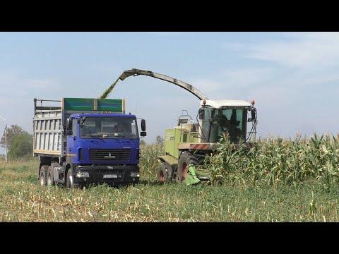 Вопрос: Как правильно говорить писать о сенажной кукурузе?