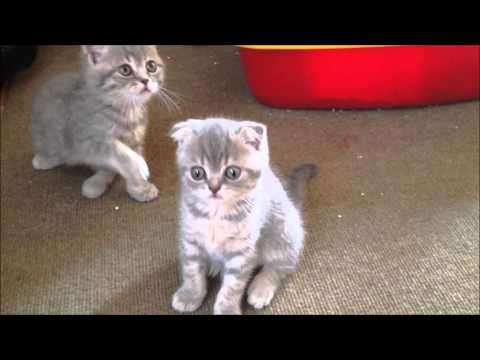 British Shorthair ve Scottish Fold yavruları 5