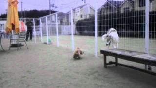ポロくんは、大型犬が大好き♪ ドックランにて隣に来ていた大型犬と仲良...