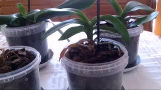 Мучнистый червец начал уничтожать орхидеи. Часть1