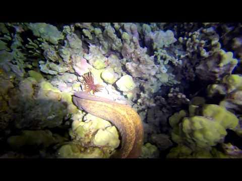 Eel hunts with trevallies at night in Hawaii
