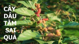 Có một cây dâu tằm nhiều quả tại Đồng Nai - Cuộc sống quanh ta: Số 648.