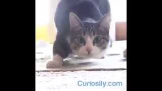 Cat Wiggle Wiggle Wiggle VS Shaq