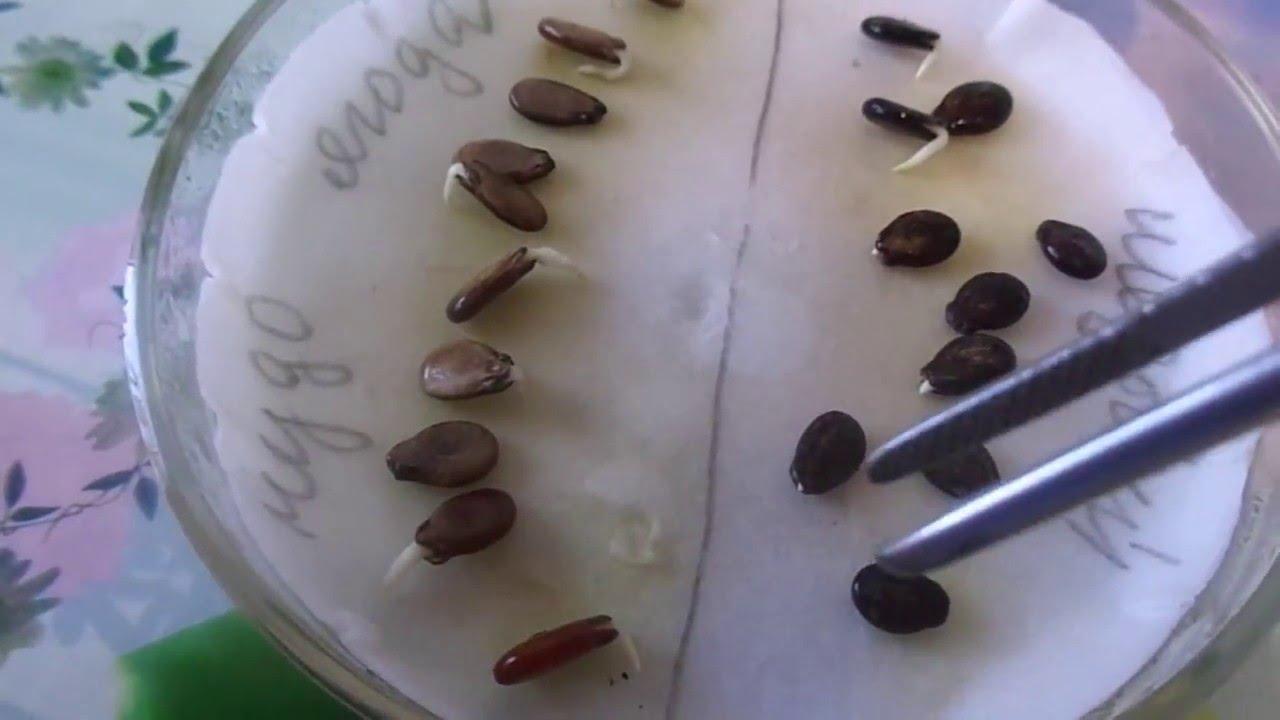 Посев арбузов на рассаду пророщенными семенами для выращивания без пикировки.