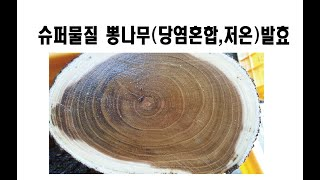슈퍼물질(초월물질)을 함유한 오래된뽕나무(100년정도추…