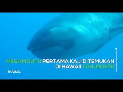 Ada Hiu Langka DI Pulau Komodo