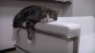 ソファで寛ぐねこ。-Maru is relaxed on the sofa.-.mp4
