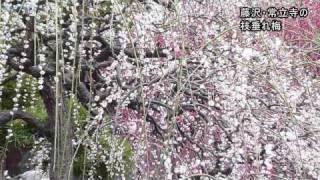 江の島や鎌倉付近の枝垂れ梅咲く/神奈川新聞(カナロコ)