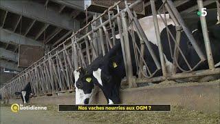 Nos vaches nourries aux OGM ?