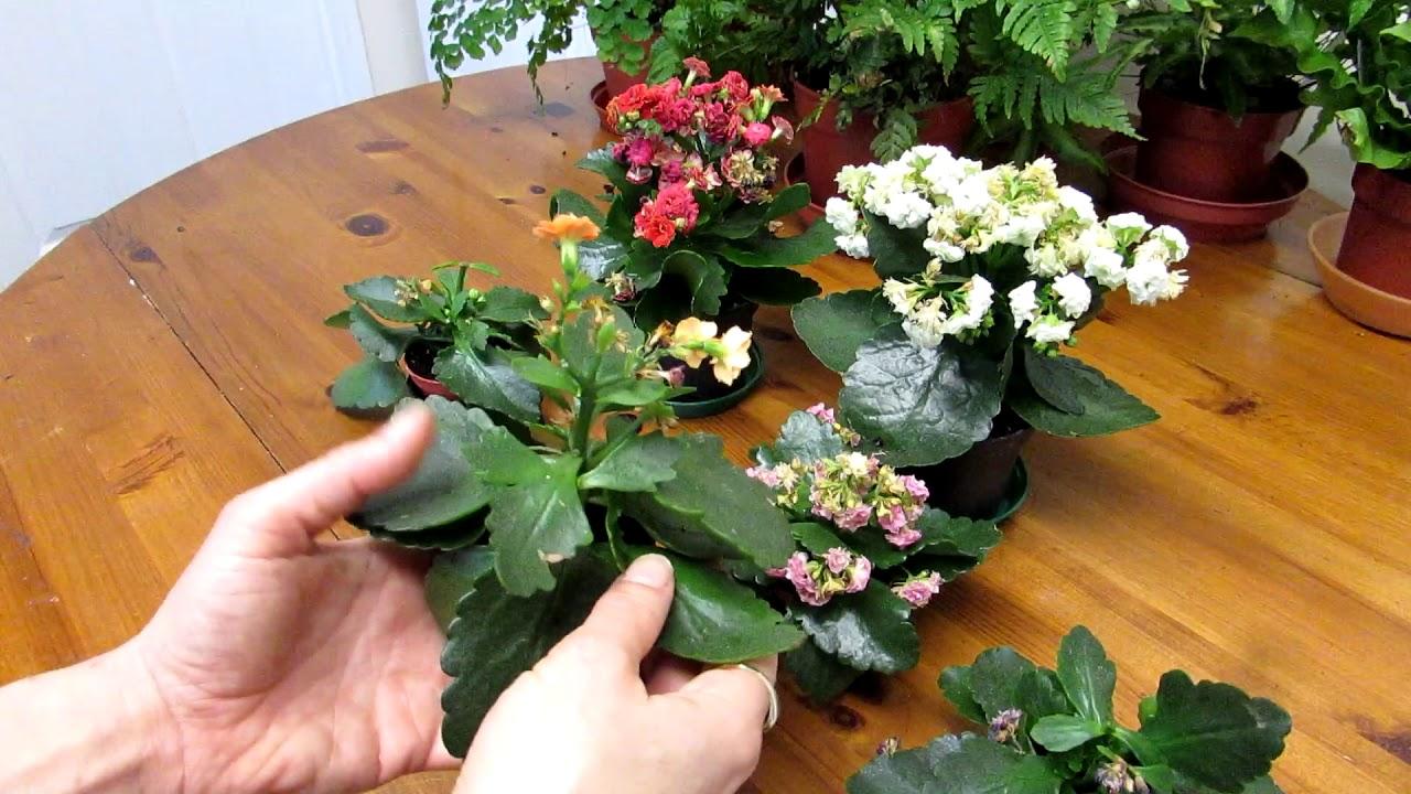 How To Prune Deadhead Kalanchoe Blossfeldiana Succulent Plants