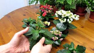 How to Prune / Deadhead Kalanchoe blossfeldiana Succulent Plants