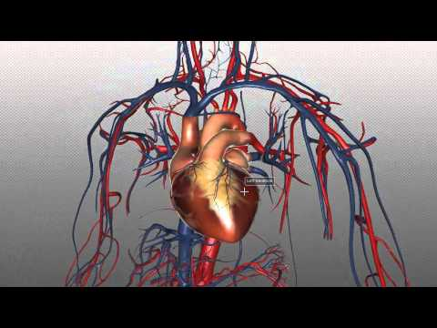 The Heart and Major Vessels - PART 1 - Anatomy Tutorial