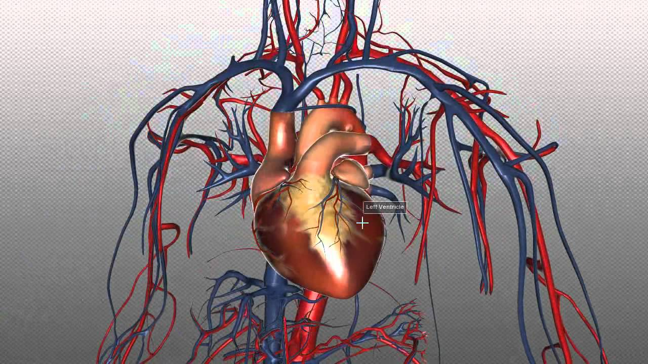 The Heart And Major Vessels Part 1 Anatomy Tutorial Youtube
