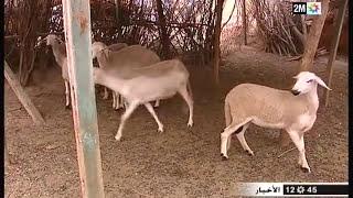 بني ملال  والفقيه بن صالح : سرقة المواشي