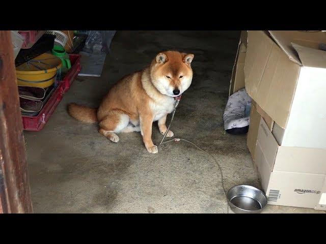 おやつの隠し場所に近付かれると挙動不審になる柴犬 Shibe behave suspiciously near the hiding place of dog treats.