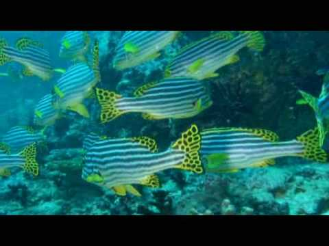 Scuba Diving Through a School of Oriental Sweetlips, Maldives