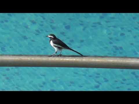 wagtail 13 oct at Gold Summit Bangalore swimming pool