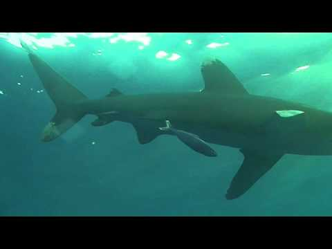 Diveworld Videos | shark on Daedalus