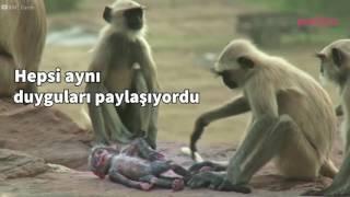Yere düşen robot maymunu öldü zannedip üzülen, ona veda eden maymunlar...