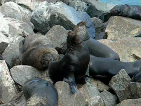 Lobos de mar en San Antonio, Chile - YouTube