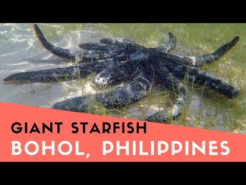 Giant Starfish Discovered In Bohol Philippines