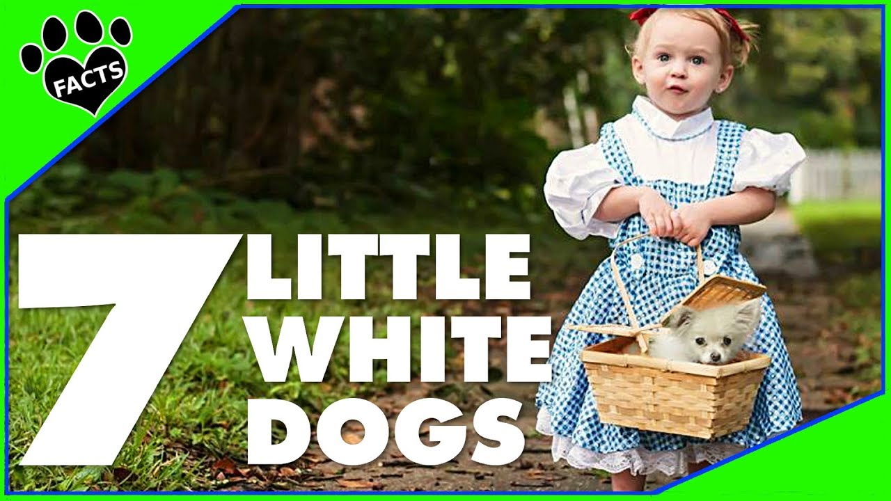 7 Little White Dogs - Small Dog Breeds Dogs 101  - Animal Facts