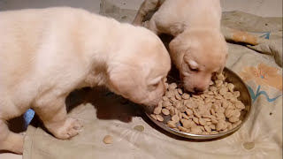 Labrador puppy's eat food