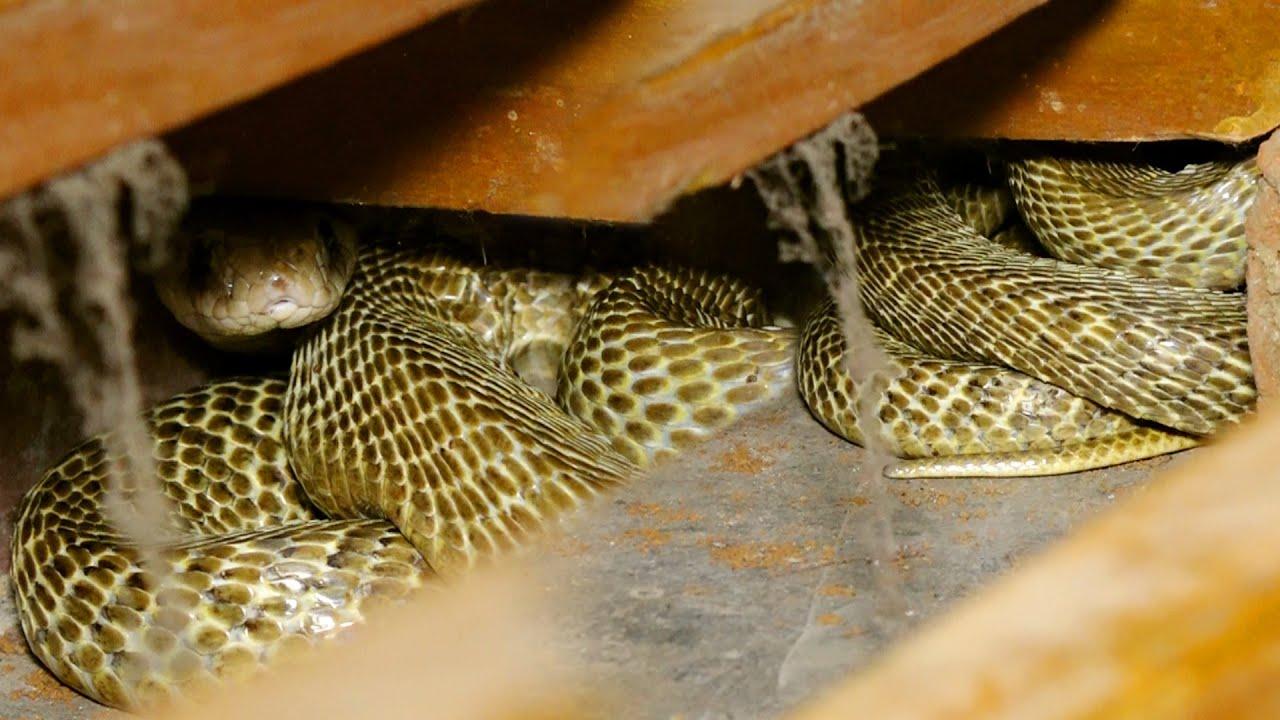 अलमीरा के निचे बैडरूम में देखे कुंडली मार कैसे छिपा था जहरीला नाग।Very dangerous Cobra in Bedroom