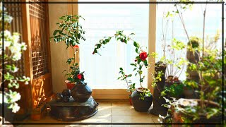 동백꽃과 항아리로 단아한 베란다 정원 만들기,  정겨운…