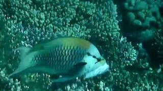 Weird fish: A slingjaw wrasse slings its jaw
