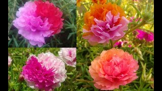 Amazing Portulacas -Moss Rose - Portulaca - Table Rose - Mexican Rose
