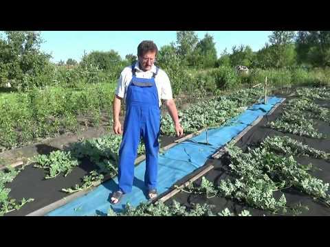 Выращивание  арбузов в открытом грунте. Средняя Полоса России.