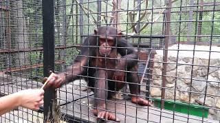 Шимпанзе просят воду и конфеты у посетителей.
