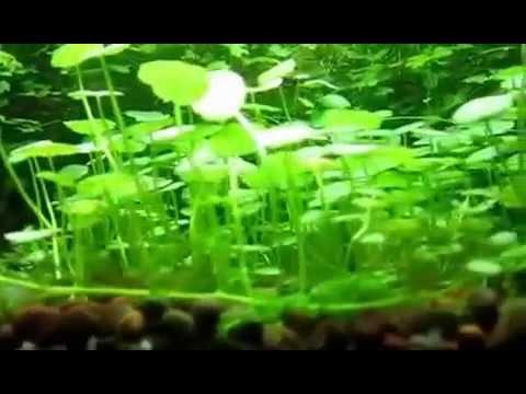 Гидрокотила вертикальная (Hydrocotyle verticillata)