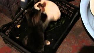 приколы с котов (кот и морская свинка)