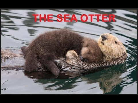 Why Do Sea Otters Hold...