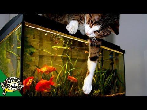 Goldfish Aquarium Q&A.
