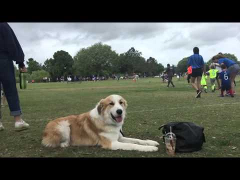 """1 Year Old Great Pyrenees Mix """"Saxon""""Amazing obedience! Best Dog Trainers Orlando"""