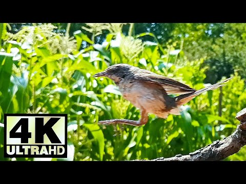 How long can a flycatcher jump? | Muscicapa striata | Spotted Flycatcher | Nature | Close-up