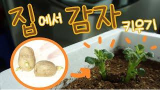 #1 감자 심는 방법   끼리네 텃밭   베란다 농장 …