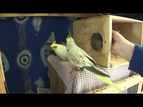 Cockatiel Exiting Nesting Box