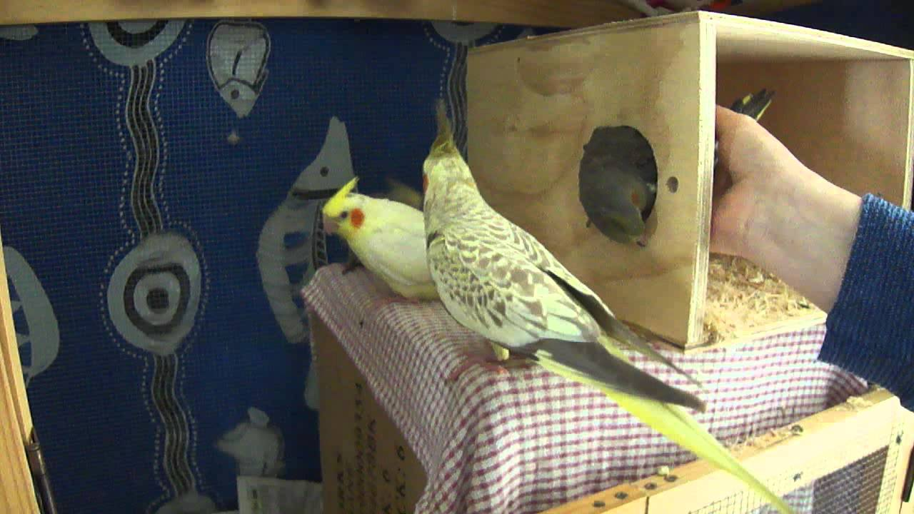 Cockatiel Nest Box Outside Of Cage Reverse